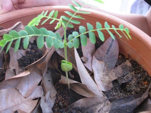Baby Tamarind Tree