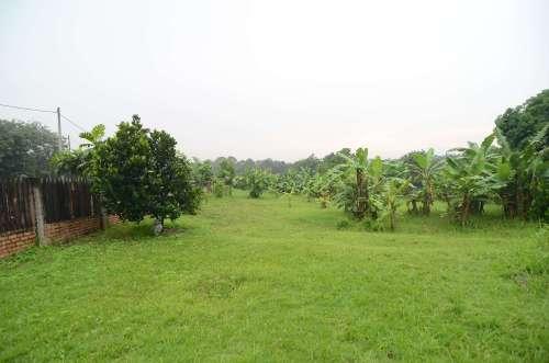 Murujan Permaculture Malaysia Banana Trees