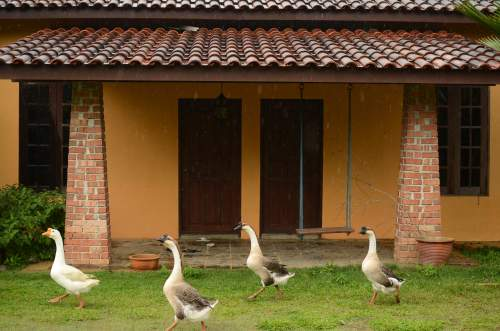 Murujan Permaculture Chinese Geese