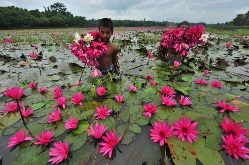 1346162431-people-of-wetlands-farm-water-lilies-in-bangladesh_1410932