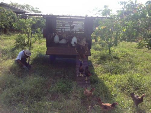 murujan tours malaysia chicken tractors